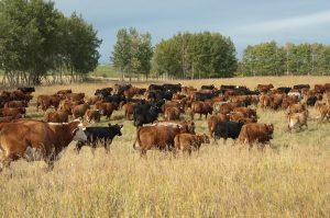 beef cattle in field