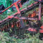 carrot harvest4