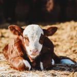 chatsworth farm cow