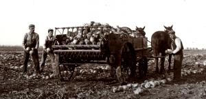 Old Photo, sugar beets